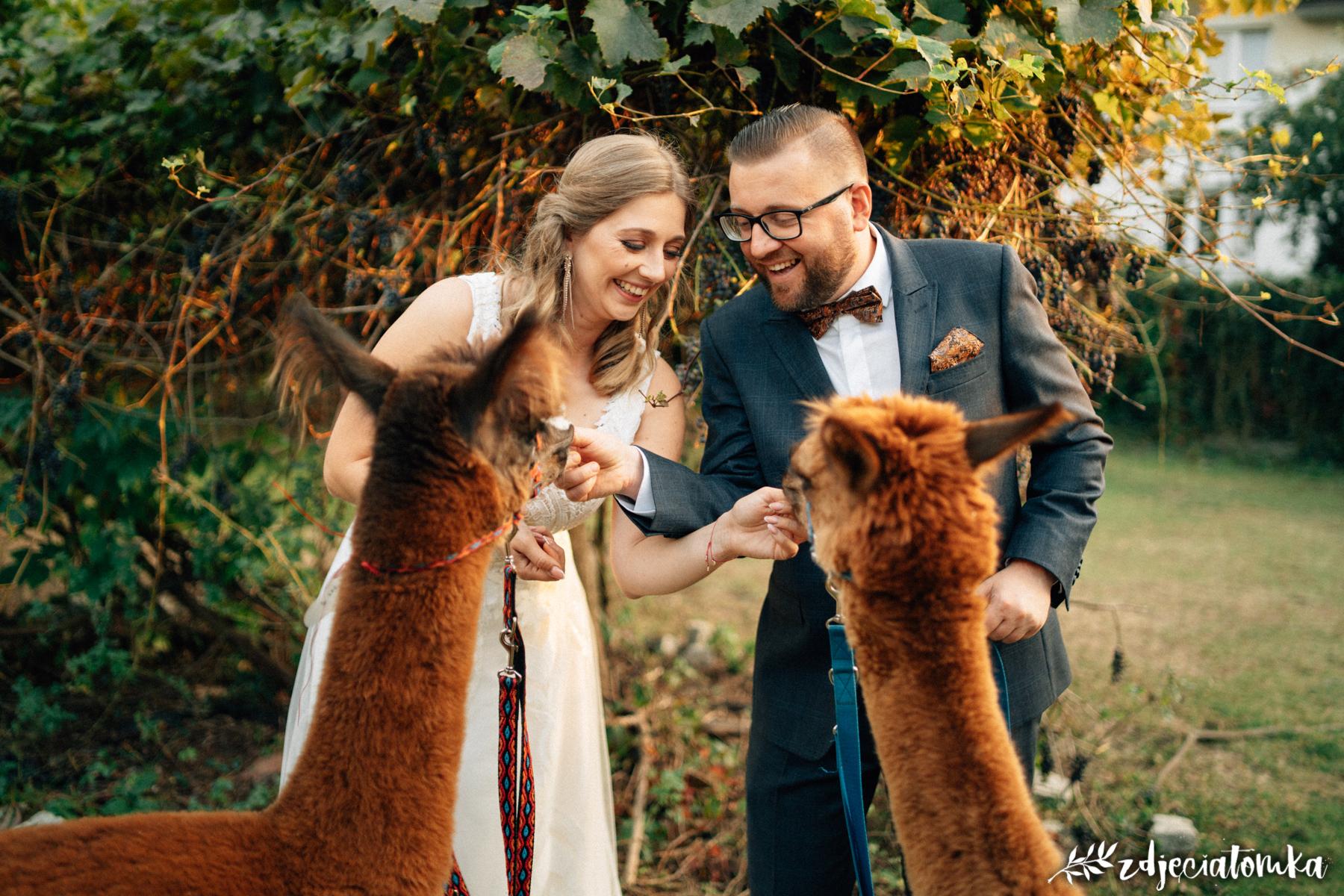 alpaki corazon łomianki pan młody panna młoda sesja plenerowa poślubna bajeczna sesja z alpakami