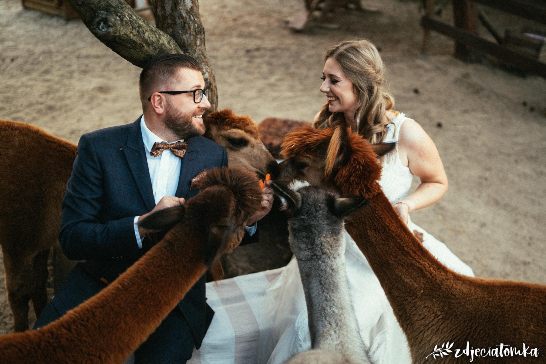 alpaki corazon łomianki pan młody panna młoda sesja plenerowa poślubna bajeczna sesja poślubna z alpakami