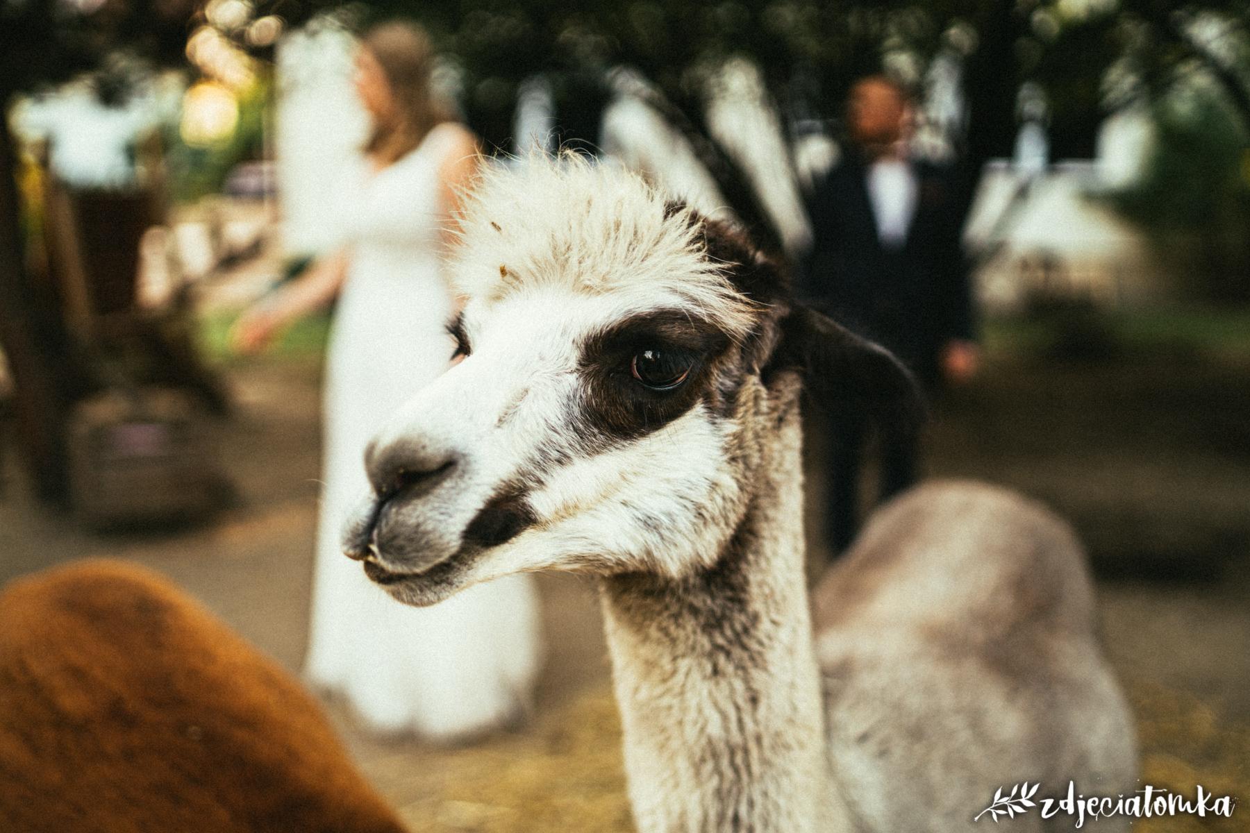 alpaki corazon łomianki pan młody panna młoda sesja plenerowa poślubna portret alpaki alpakowe love bajeczna sesja z alpakami