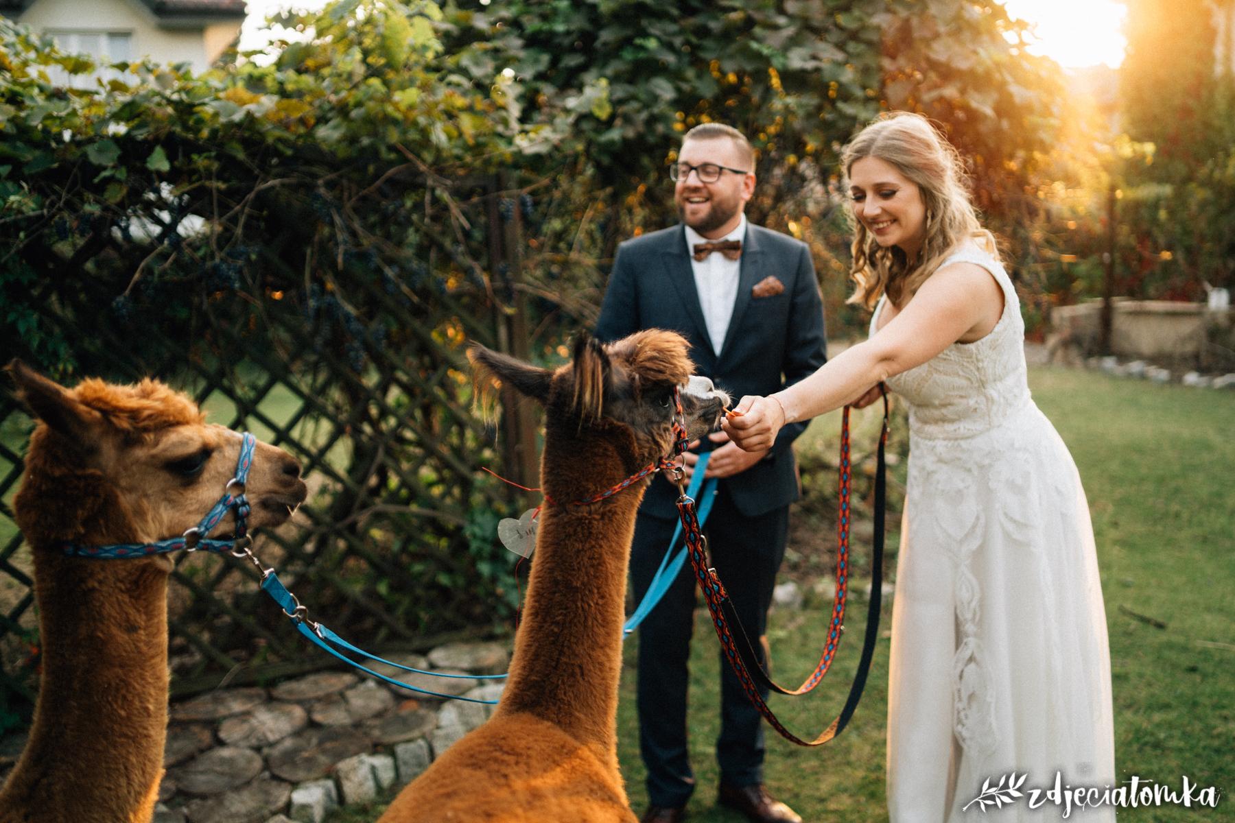 alpaki corazon łomianki pan młody panna młoda sesja plenerowa poślubna zachód słońca golden hour złota godzina bajeczna sesja ślubna z alpakami