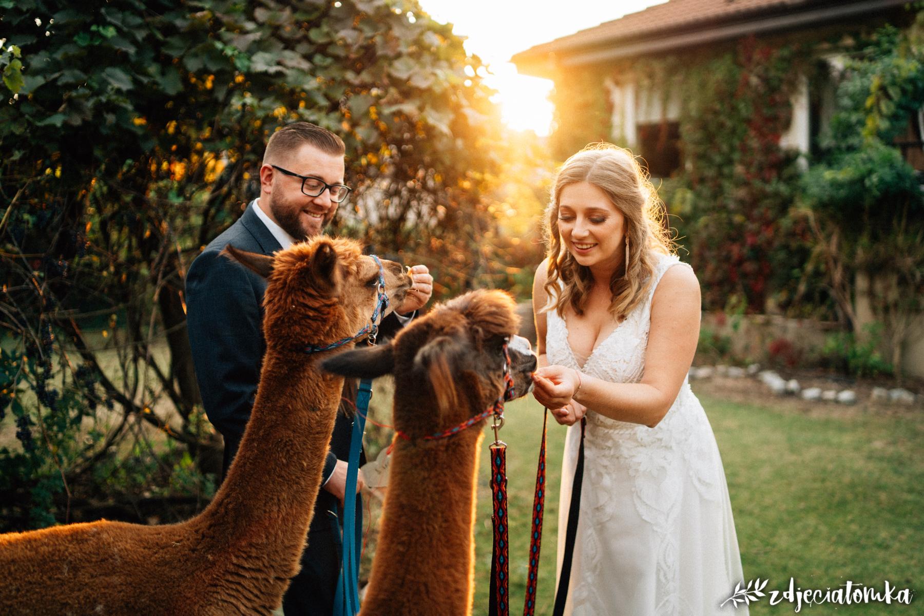 alpaki corazon łomianki pan młody panna młoda sesja plenerowa poślubna bajeczna sesja ślubna z alpakami zachód słońca golden hour złota godzina