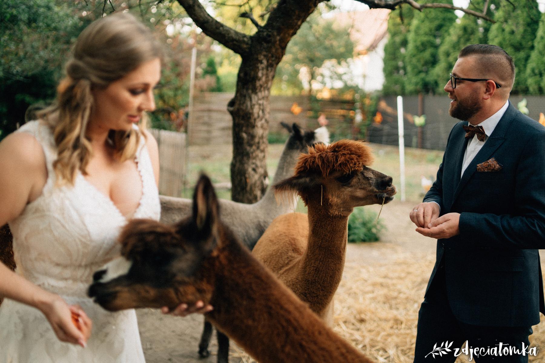 bajeczna sesja ślubna z alpakami alpaki corazon łomianki pan młody panna młoda sesja plenerowa poślubna zachód słońca zagroda alpak
